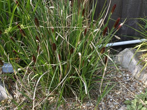 Grasses liz mikes garden ornamental grass ornamental grass workwithnaturefo